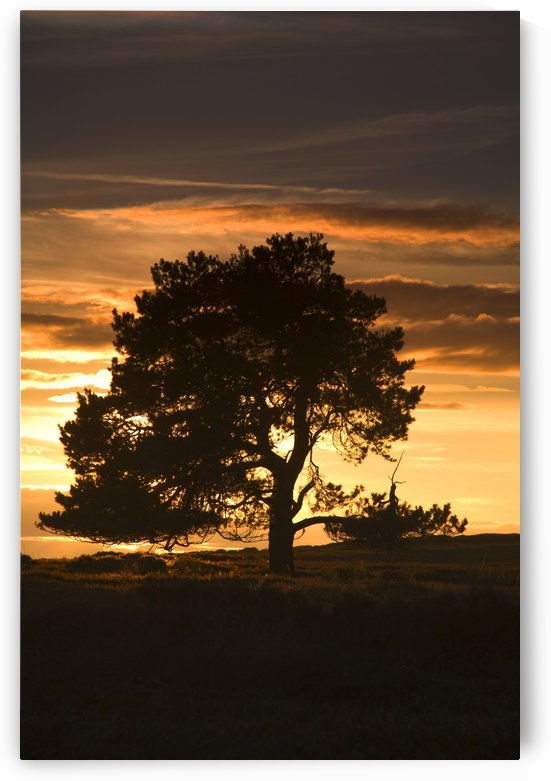 Tree At Sunset, North Yorkshire, England by PacificStock