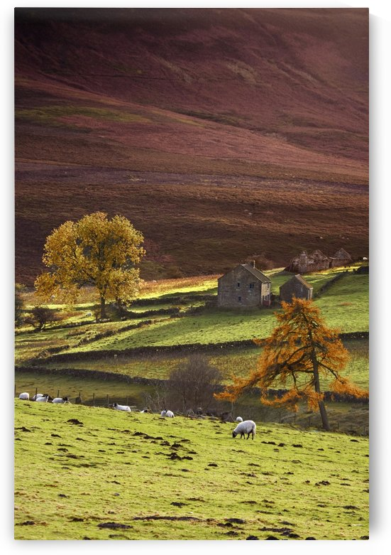 Sheep On A Hill, North Yorkshire, England by PacificStock