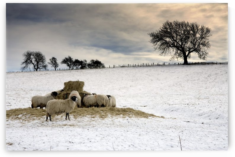 Sheep In Field Of Snow, Northumberland, England by PacificStock