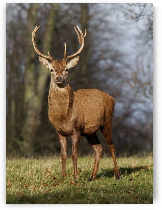 Deer In Field by PacificStock
