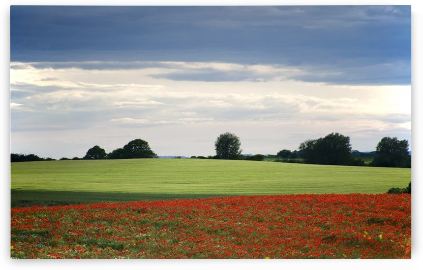Field With Red Flowers, Yorkshire, England by PacificStock