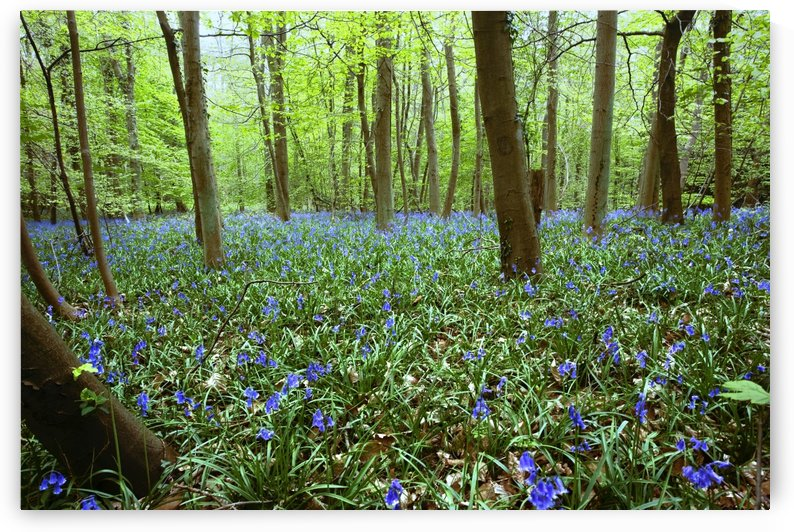 Violets In Forest by PacificStock