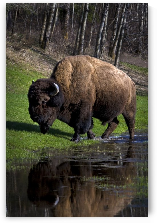 Buffalo By River Bank by PacificStock