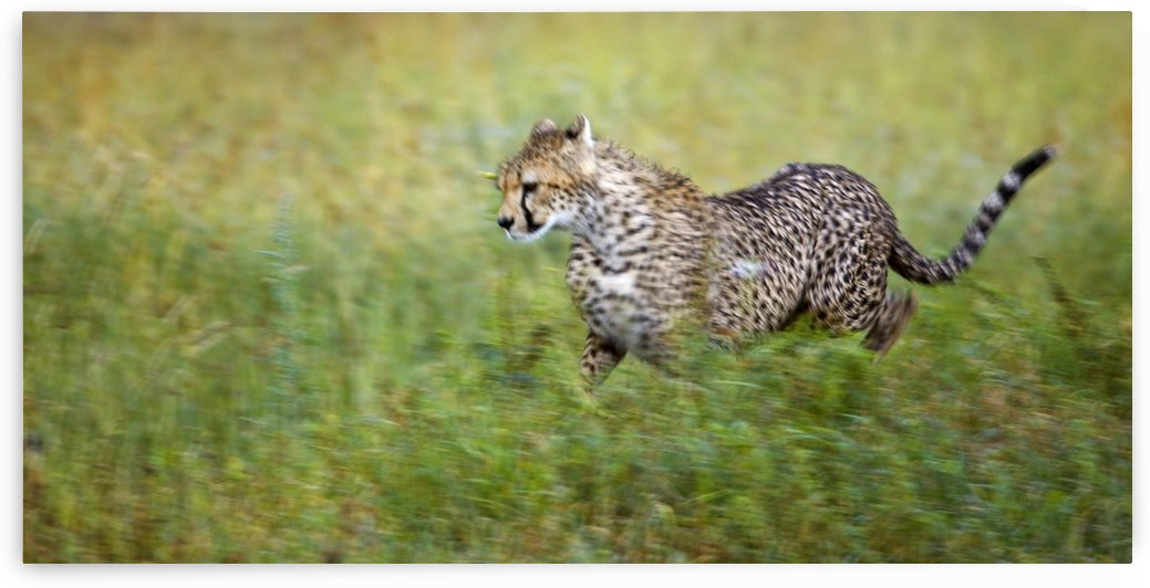 Cheetah (Acinonyx Jubatus), Running, Serengeti National Park, Tanzania, Africa by PacificStock