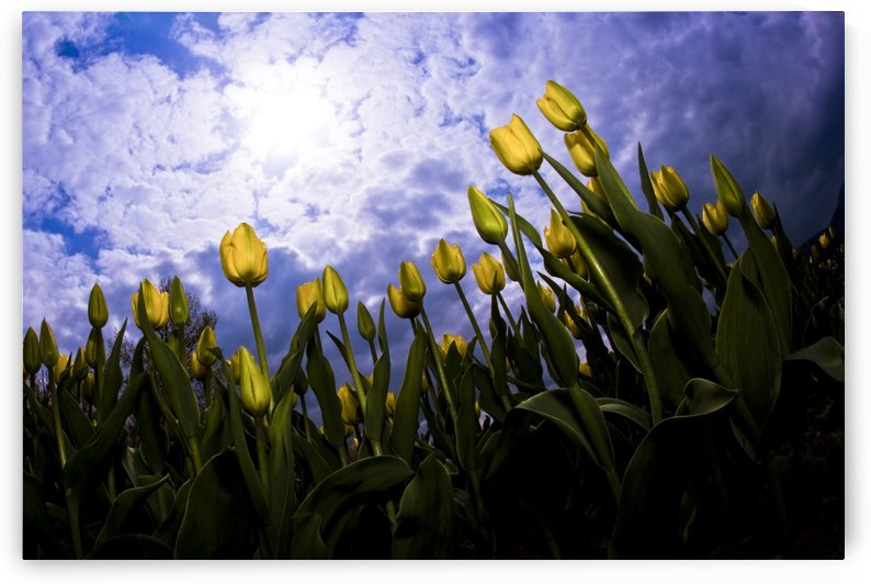 Tulips And Sky by PacificStock