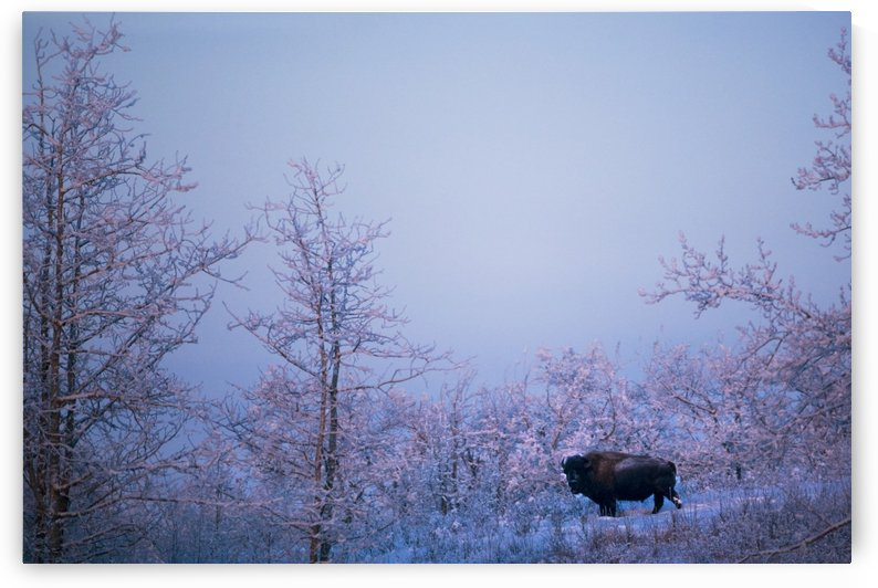 Buffalo In Snowy Woods by PacificStock