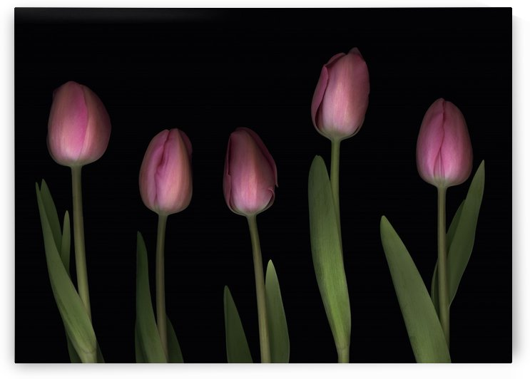 Pink Tulips by PacificStock