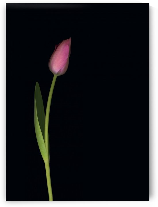Pink Tulip by PacificStock