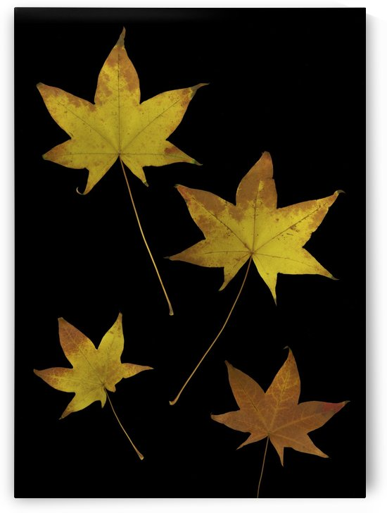 Autumn Leaves by PacificStock