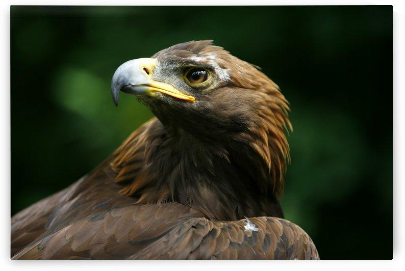 Golden Eagle's Face (Aquila Chrysaetos) by PacificStock