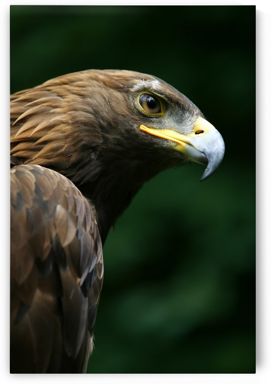 Golden Eagle's Face (Aquila Chrysaetos) by PacificStock