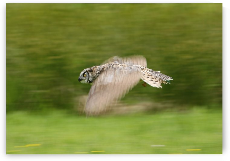 Great Horned Owl (Bubo Virginianus) by PacificStock