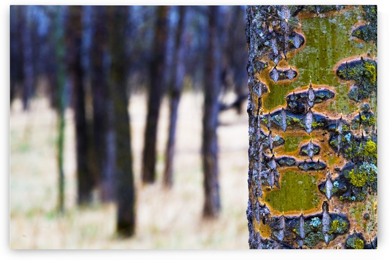 Tree Trunk With Bare Trees In The Distance by PacificStock