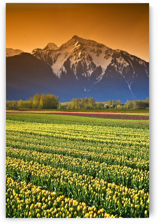 Tulip Cultivation, British Columbia, Canada by PacificStock
