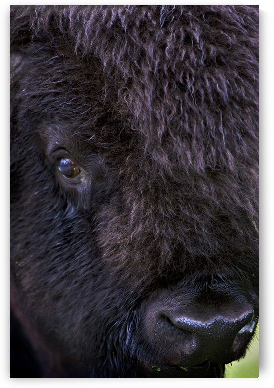 Bison, Close Up by PacificStock