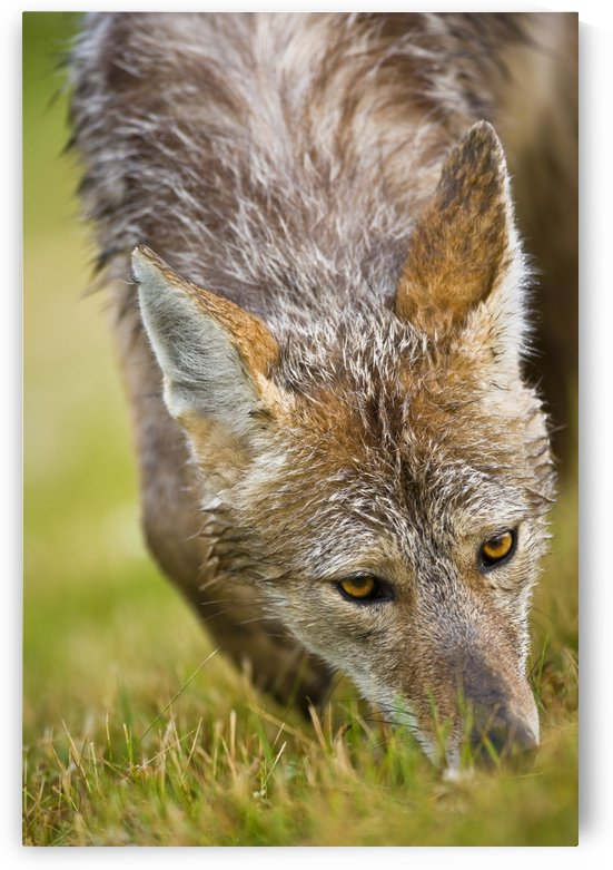 Coyote In Grass by PacificStock