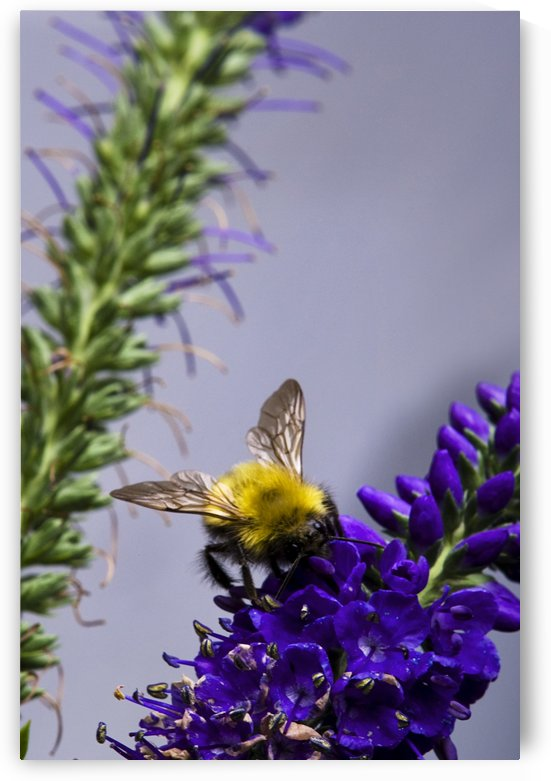 Bee On Purple Flowers by PacificStock