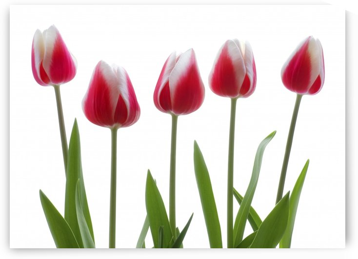 Row Of Pink Tulips On White Background by PacificStock