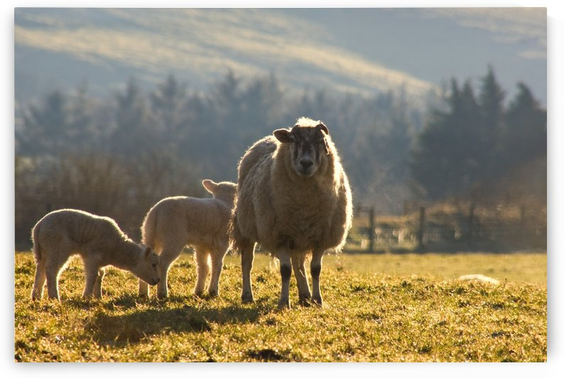 Sheep In Pasture by PacificStock