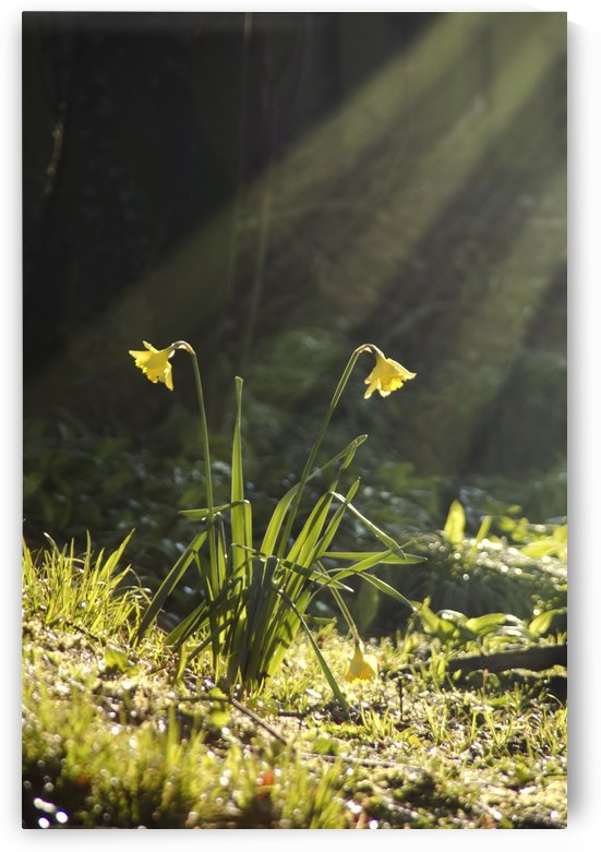 Daffodils In Sunlight by PacificStock