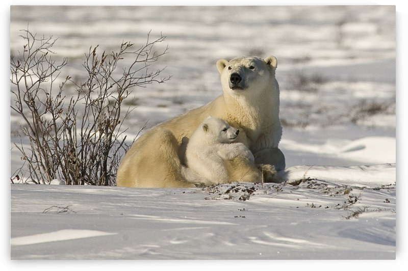 Polar Bear With Cub, Watchee, Churchill, Canada by PacificStock