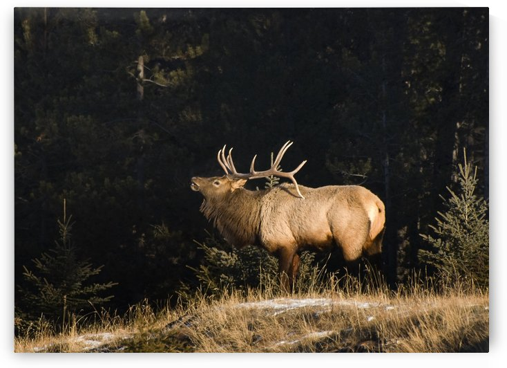 Elk In Forest, Banff National Park, Alberta, Canada by PacificStock