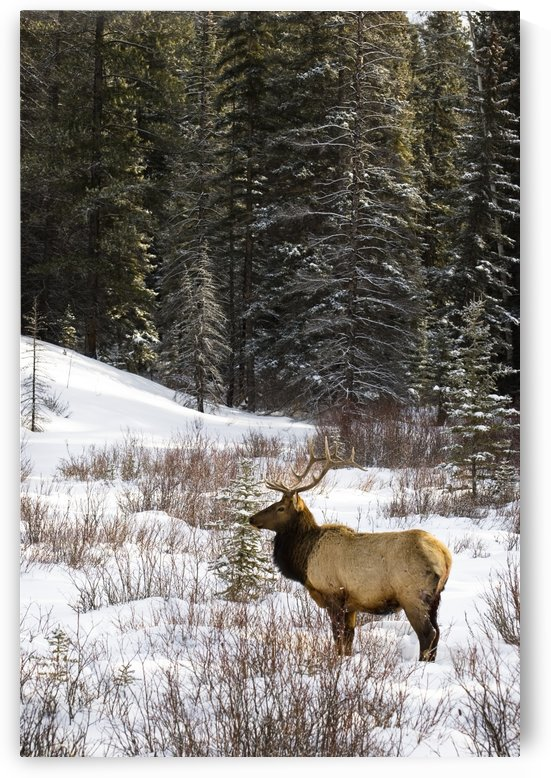 Elk In Winter Forest, Banff National Park, Alberta, Canada by PacificStock