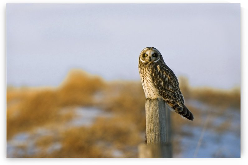 Short-Eared Owl, Alberta, Canada by PacificStock