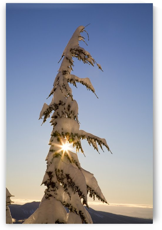 Sunlight Through Snow-Covered Tree, Cascades Mountains, Oregon, United States Of America by PacificStock