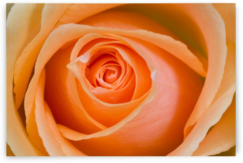 Orange Rose by PacificStock