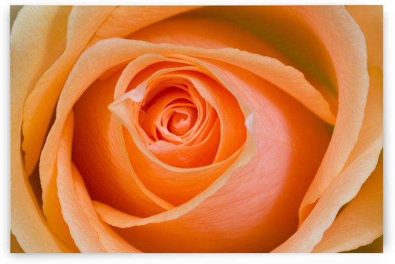 Orange Rose by PacificStock