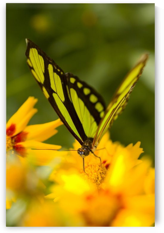 Malachite Butterfly On Flower by PacificStock