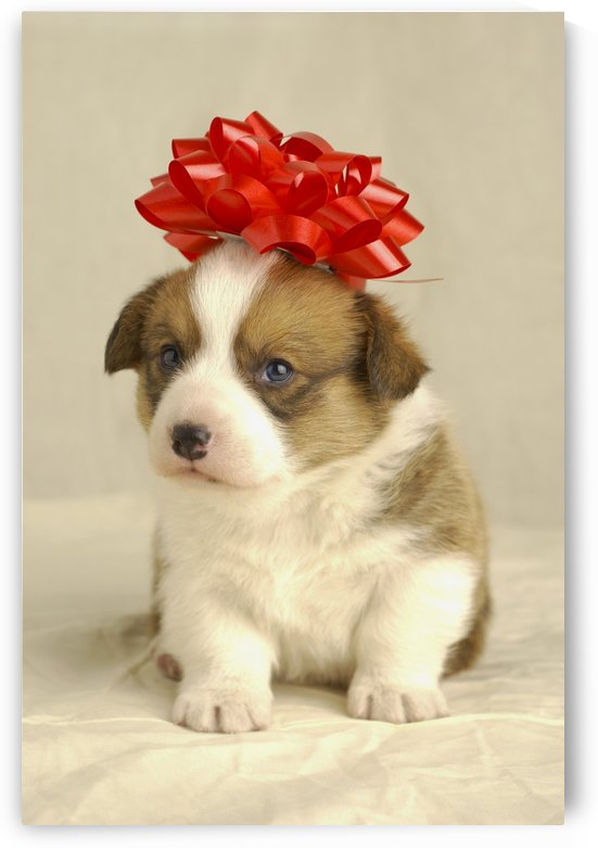 Puppy Wearing A Red Bow by PacificStock