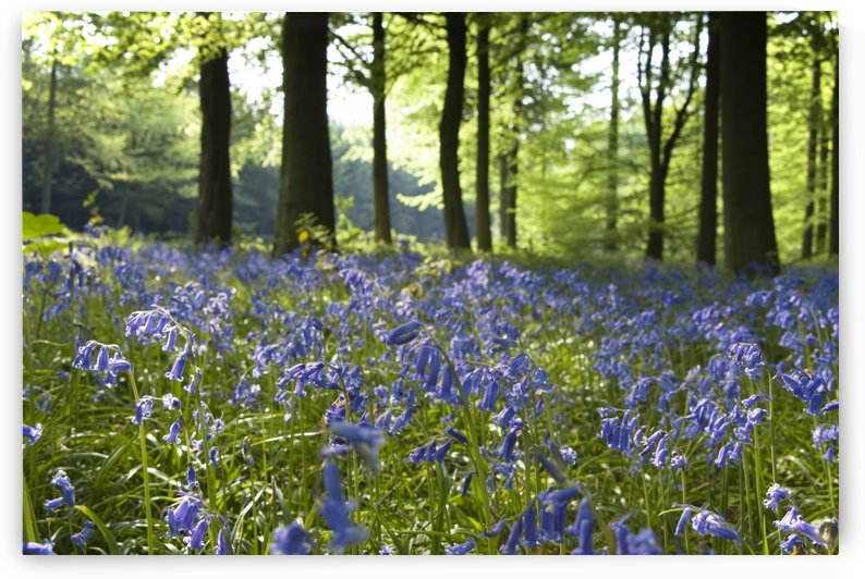 Bluebells On Forest Floor by PacificStock