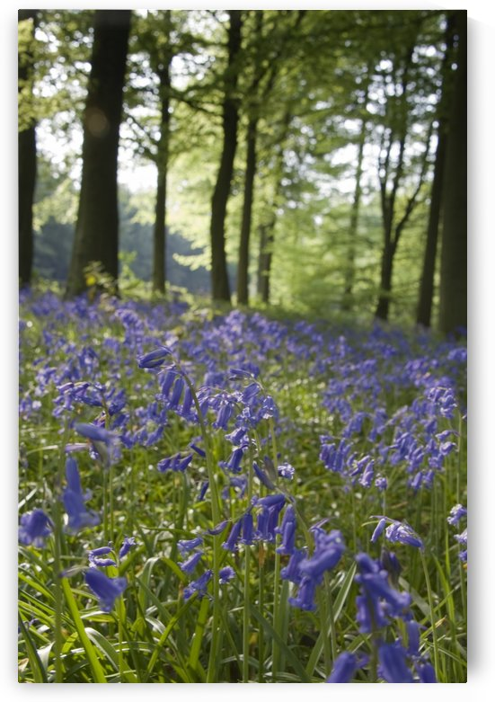 Bluebells Along The Forest Floor by PacificStock