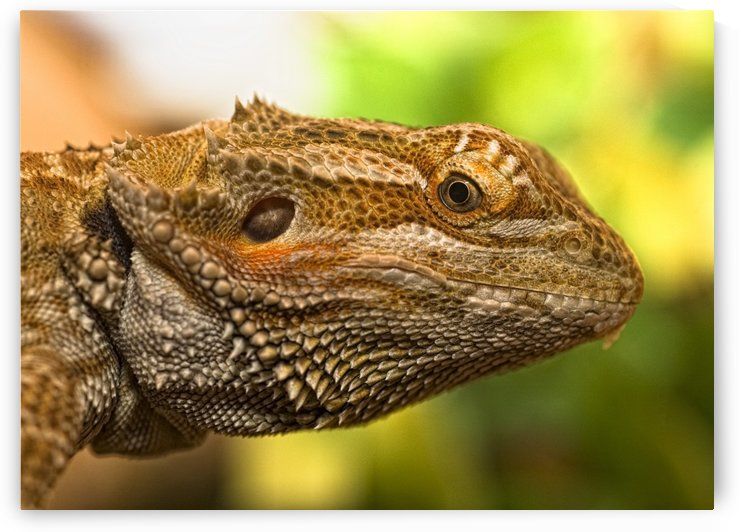 Portrait Of A Bearded Dragon by PacificStock