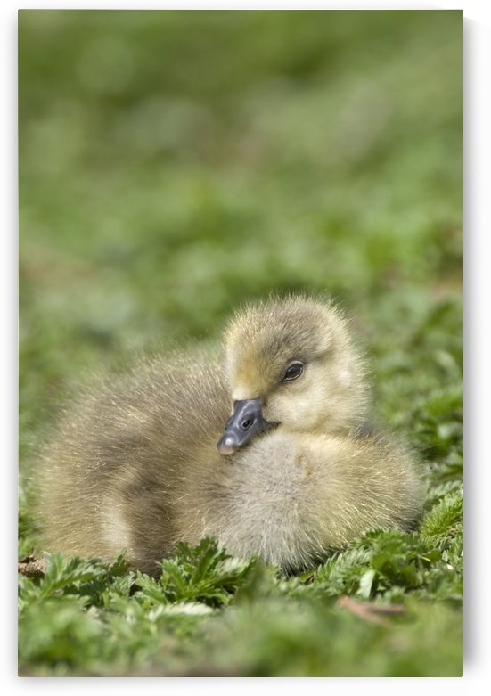 Fuzzy Gosling by PacificStock