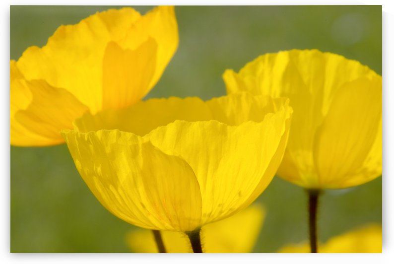 Yellow Poppies by PacificStock