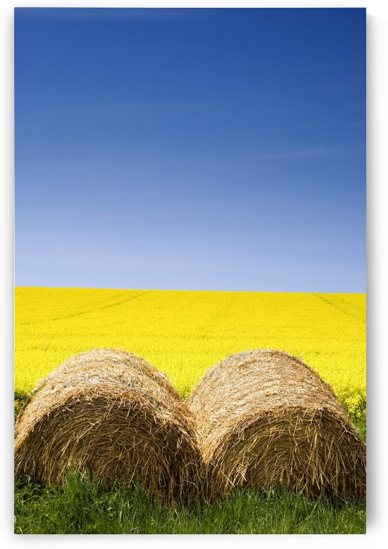Hay Bales And Canola Field, North Yorkshire, England by PacificStock