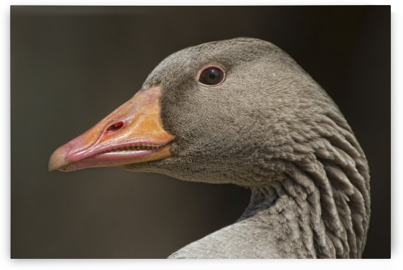 Closeup Of Goose by PacificStock