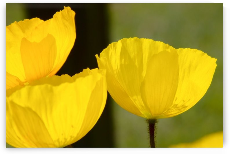 Welsh Poppy by PacificStock