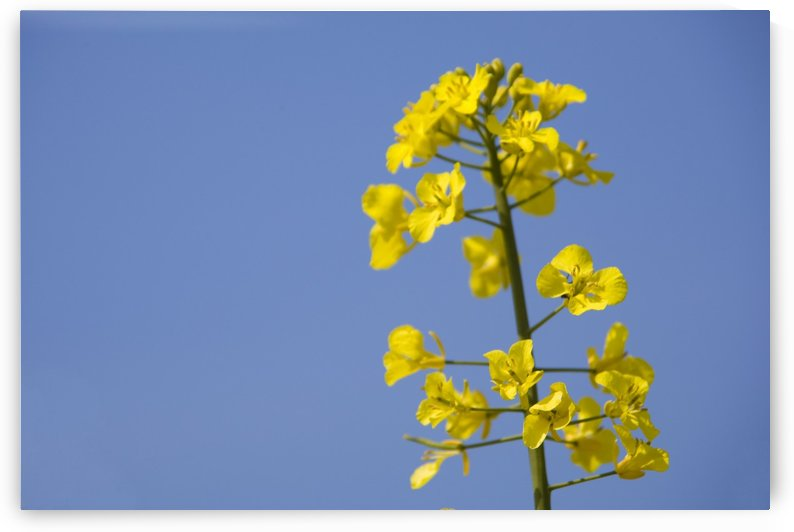 Yellow Flowers by PacificStock