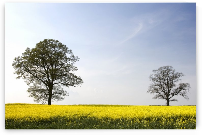 Trees In A Rapeseed Field, Yorkshire, England by PacificStock