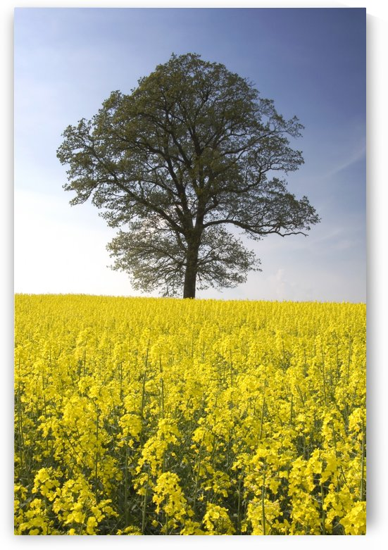 Tree In A Rapeseed Field, Yorkshire, England by PacificStock