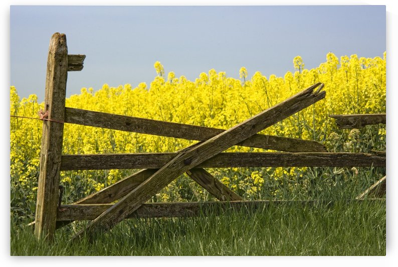 Gate Next To A Canola Field, Yorkshire, England by PacificStock