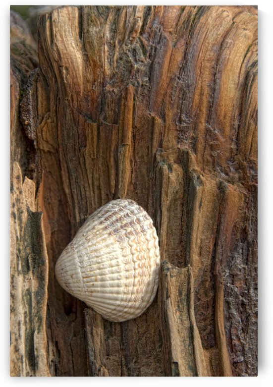 Sea Shell On Driftwood by PacificStock
