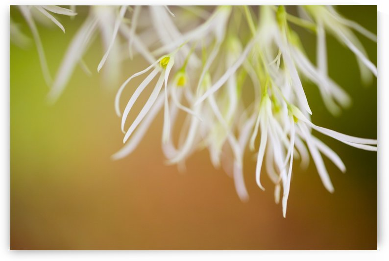 Delicate Petals by PacificStock