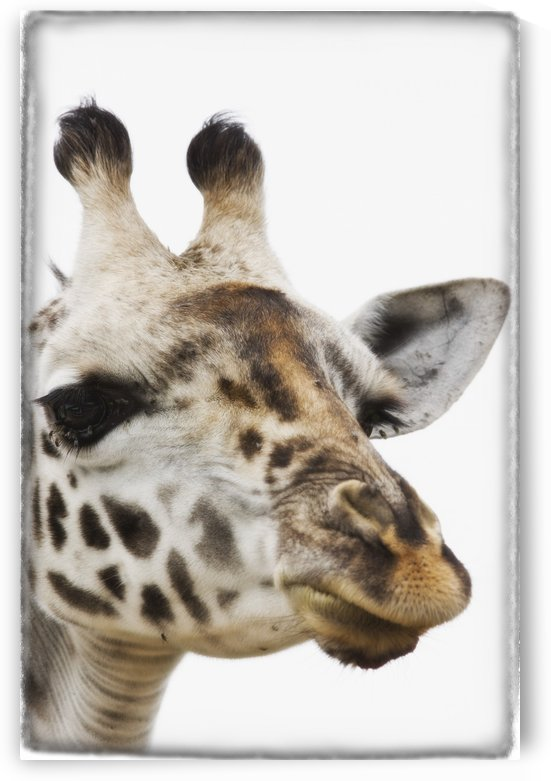 Portrait Of African Giraffe by PacificStock