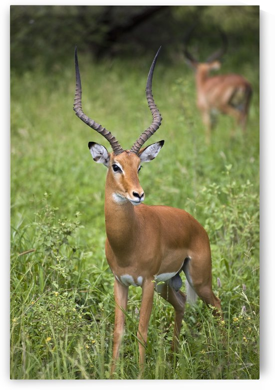 Portrait Of Impala, Serengeti National Park, United Republic Of Tanzania by PacificStock