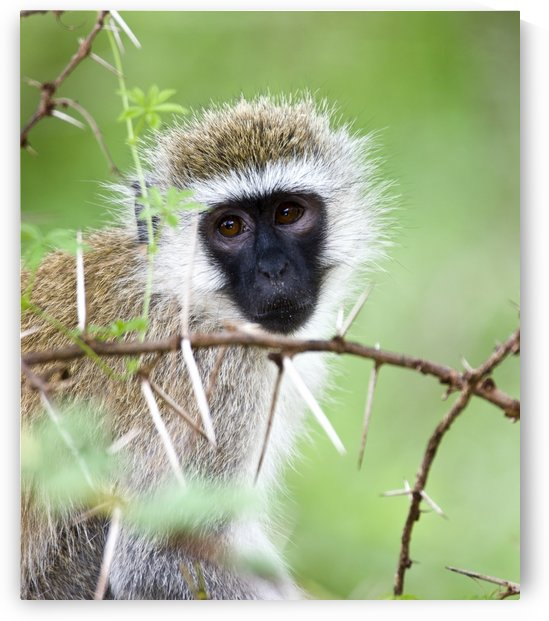 Vervet Monkey (Chlorocebus Pygerythrus) by PacificStock